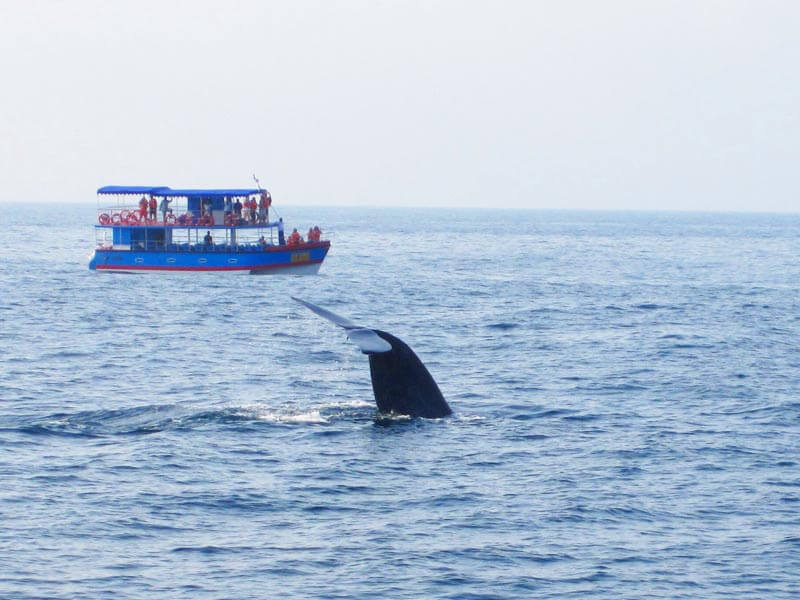 whale Watching Mirissa